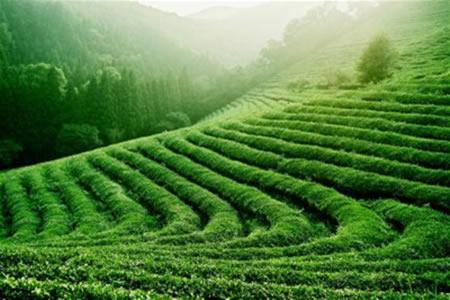 champs thé vert bio